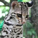gato-maracaja